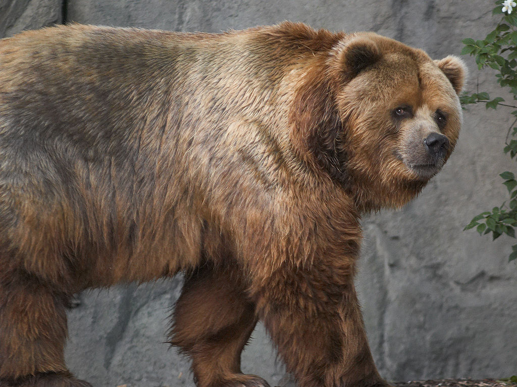 Which is the largest carnivore on land? - BEAR