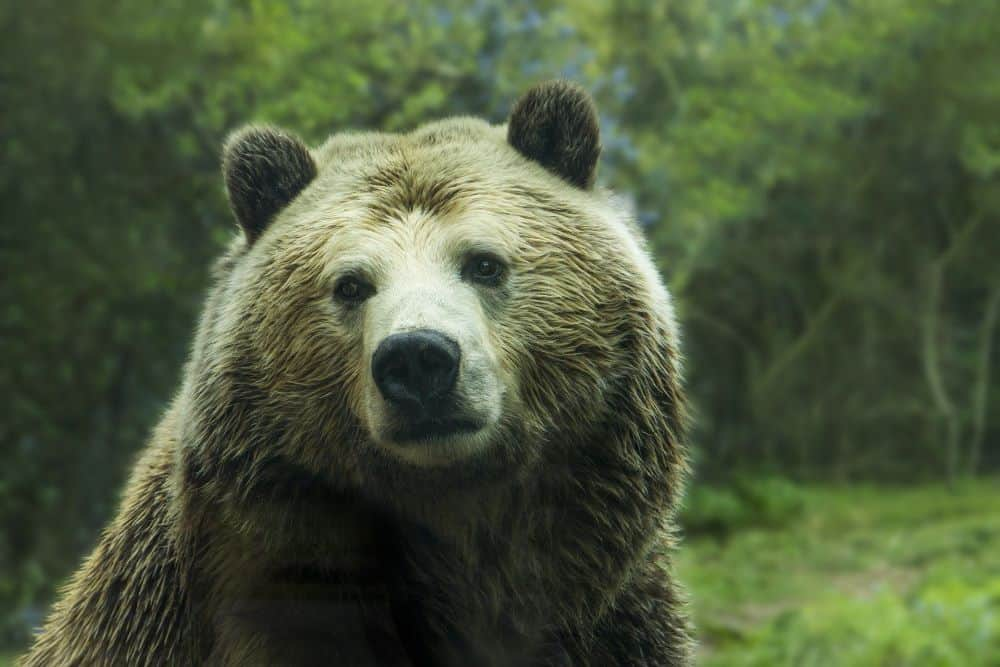 ➡ Which is the largest carnivore on land? - Of course the bear. But the question is not so simple – because which bear is the largest? It depends. - 2021.07.29.